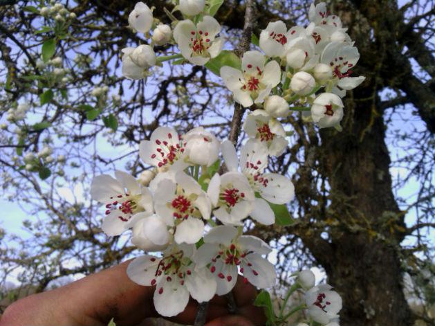 fleur de poirier: photo la mielitude