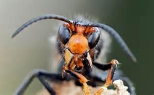 frelon asiatique, vespa velutina